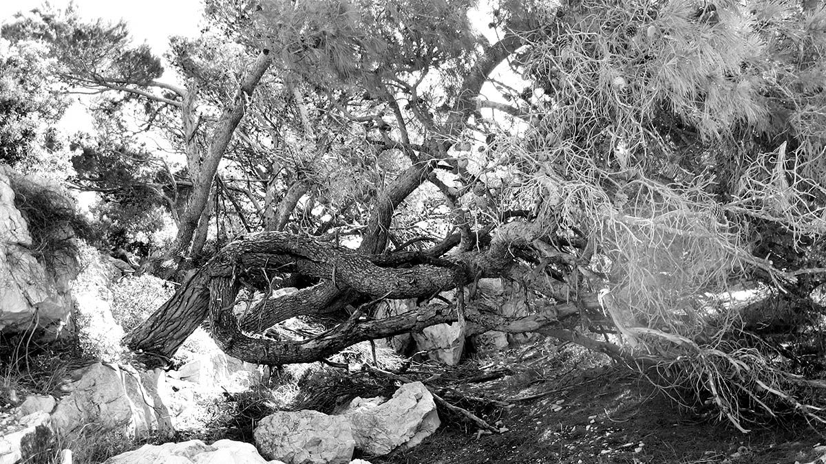 Baum in Stein, Murter, Kroatien