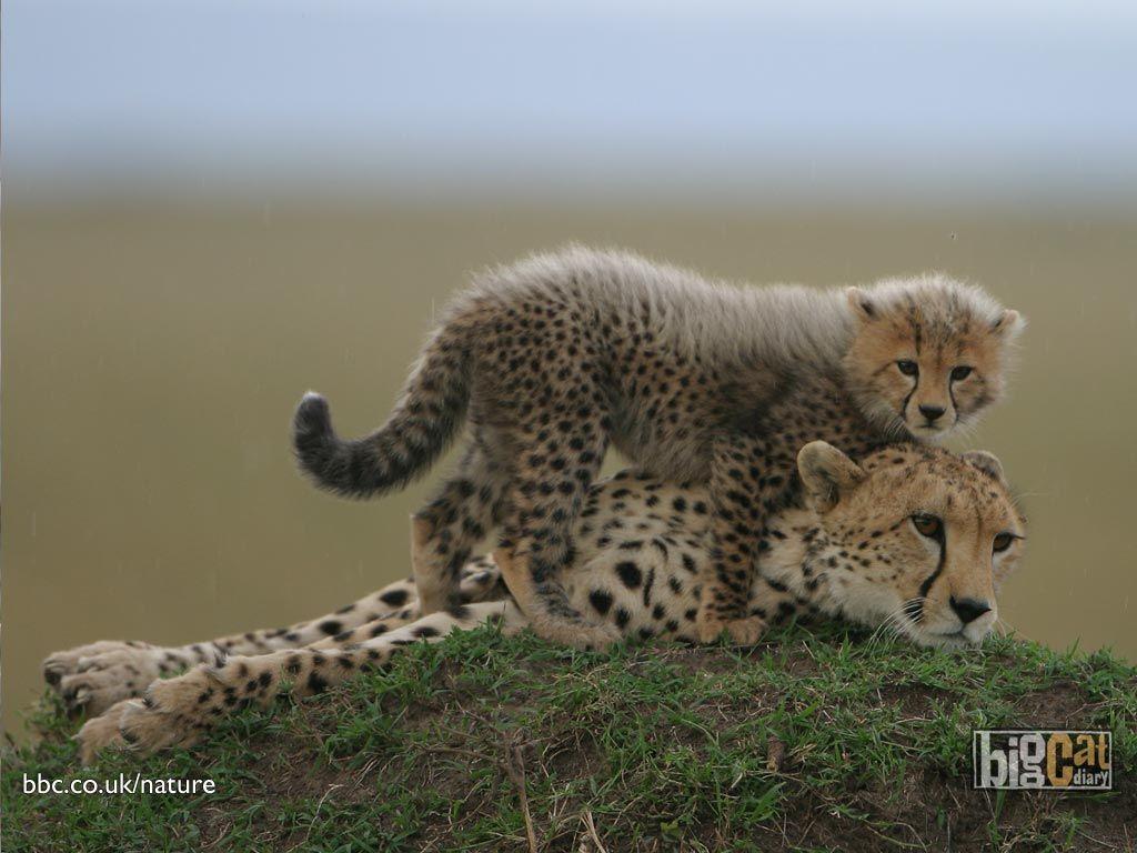 cheeta mom and baby, africa, baby, cheeta, cute, mom, sweet, wild