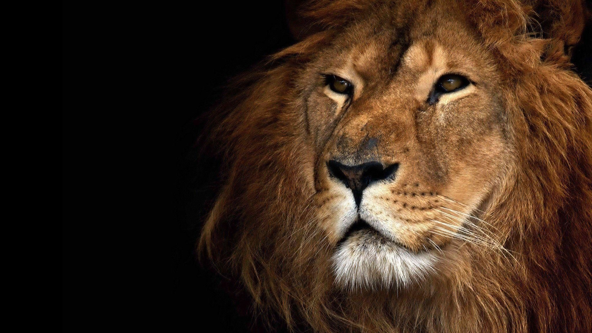 pinkhalilahmadkhan on lion hd wallpapers and backgrounds (32