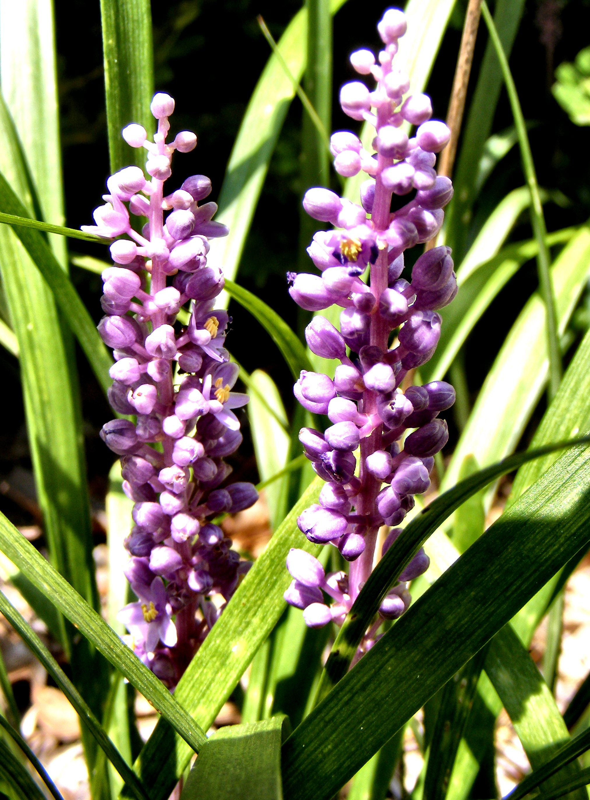 Liriope muscari, photo by Sweet Freedom Designs