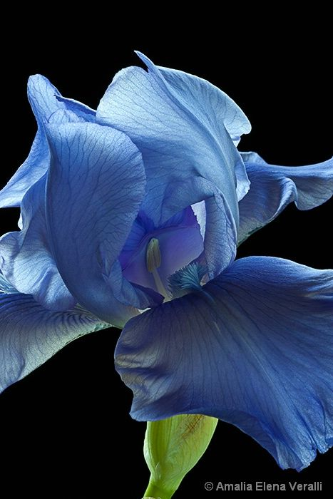 Blue Iris Maman Always Had A Few Of These In A Vase When They Were In Bloom Iris Flowers Blue Flowers Amazing Flowers