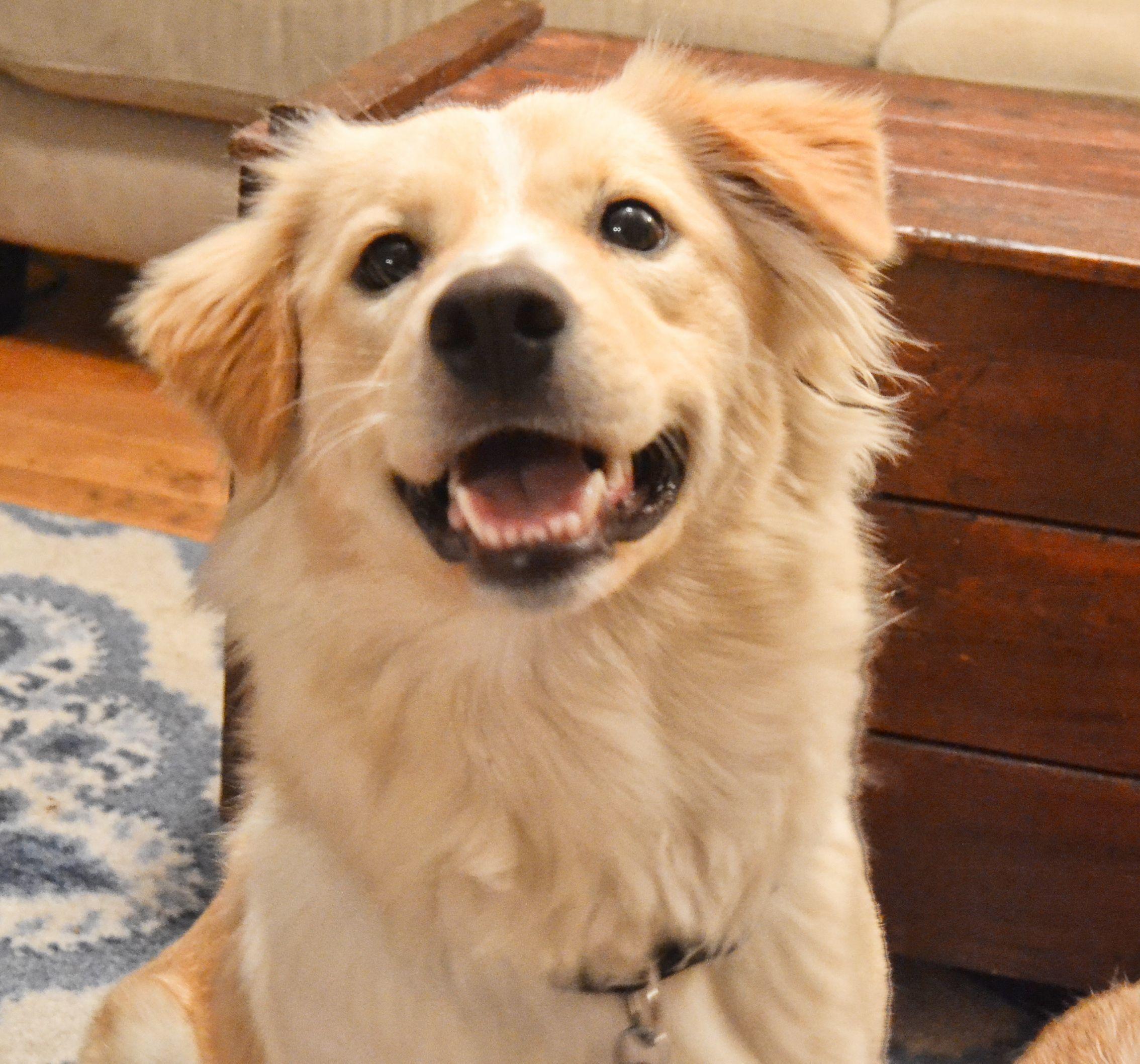 Adopt BAMBI on Petfinder Golden retriever australian