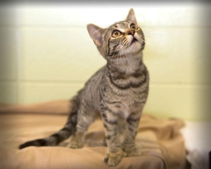 Adopt Salina On Cat Adoption Animal Shelter Short Hair Cats