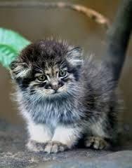 Risultati immagini per Pallas Cat