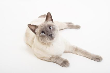 8 Types Of Siamese Cats Lovetoknow Siamese Cats Blue Point Siamese Cats Facts Cat Breeds Siamese