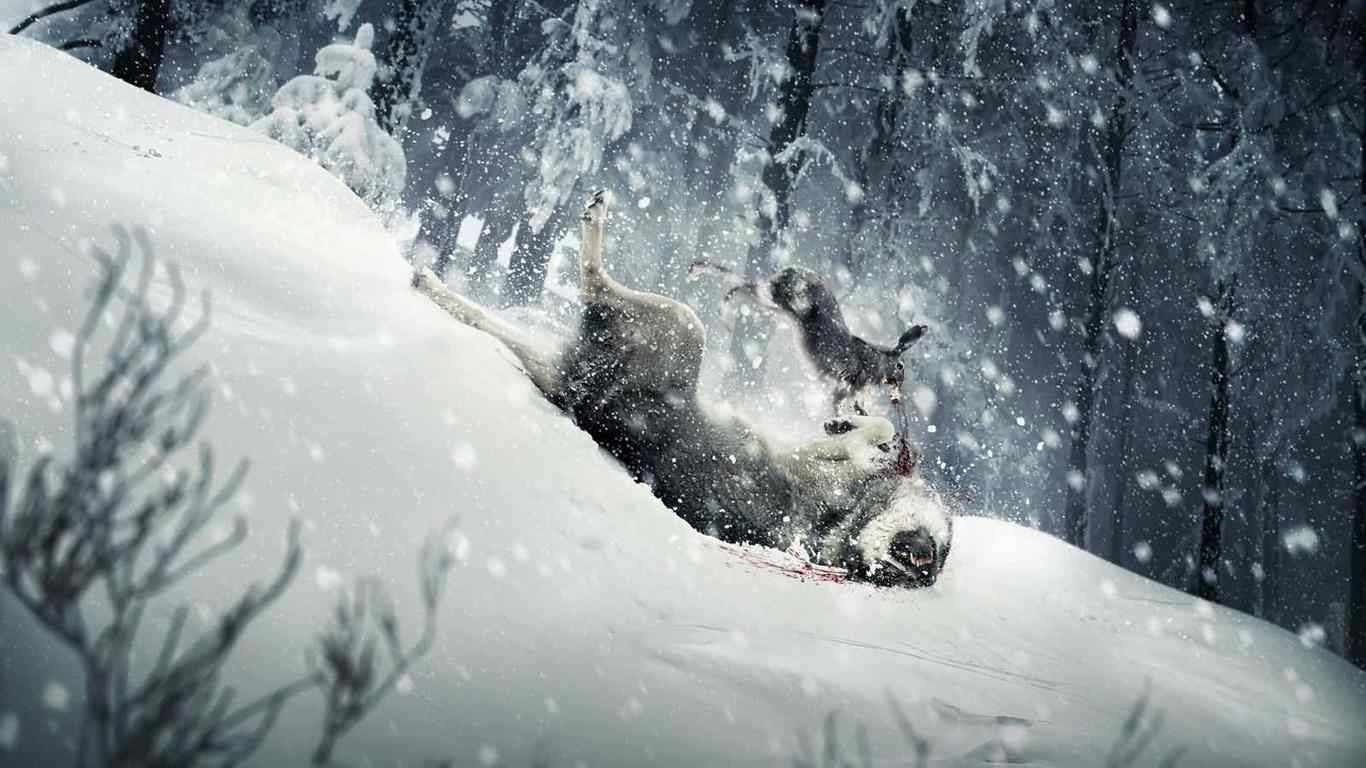wolf winter hd desktop wallpaper widescreen high