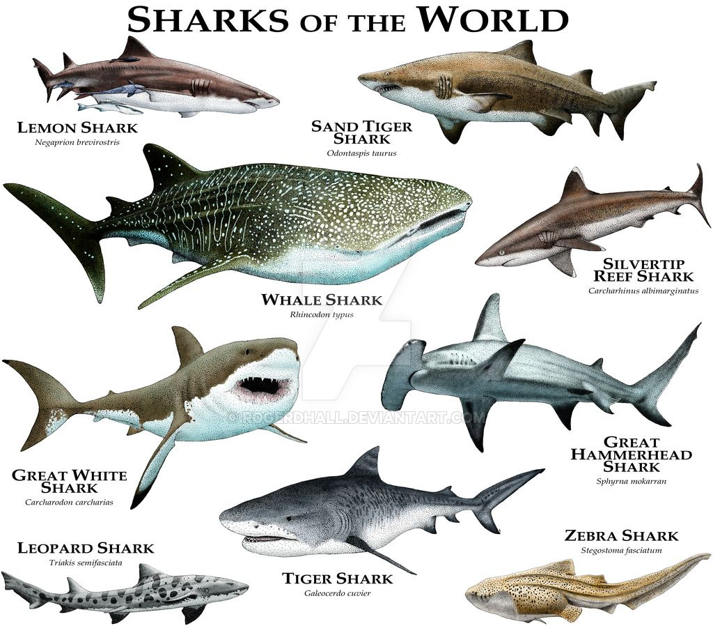 Different Species of Sharks