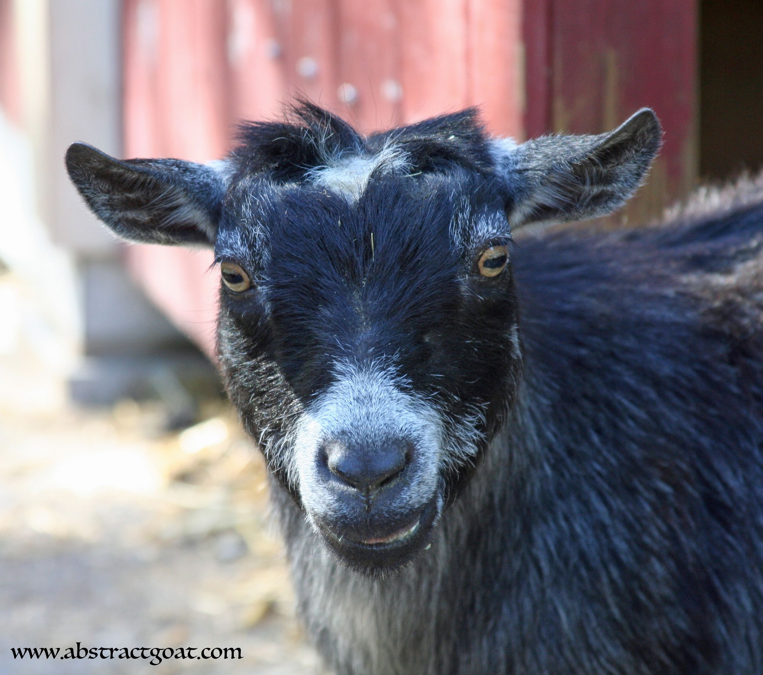 Image by Abstract Goat on Pygmy Goats Barnyard animals