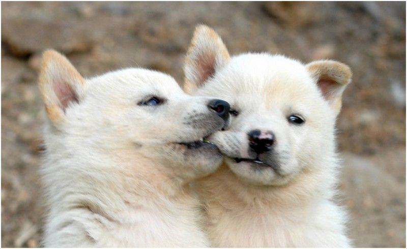 Korean Jindo Facts Pictures Puppies Personality Price