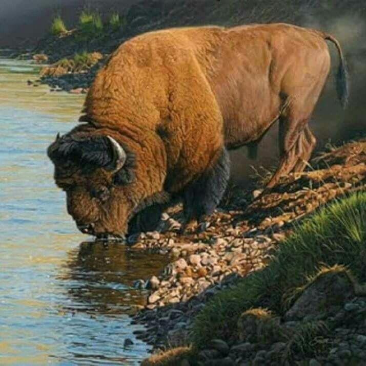 Buffalo | Bisontes | Pinterest | Búfalo, Animales y Bisonte americano