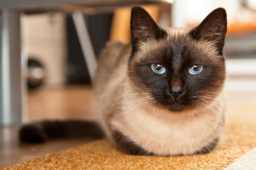 Siamese Cat By Catalin Pomeanu With Images Siamese Cats Cat