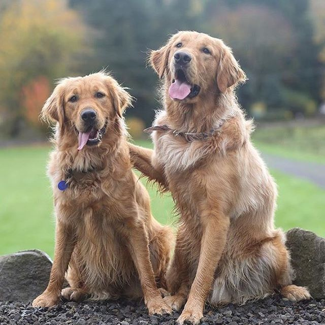 Look At These Handsome Goldens In Their Kurgo Muck Collars Photo