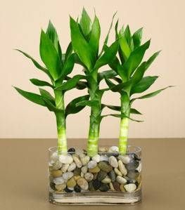 How To Grow Bamboo In Pots Lucky Bamboo Plants Growing Bamboo
