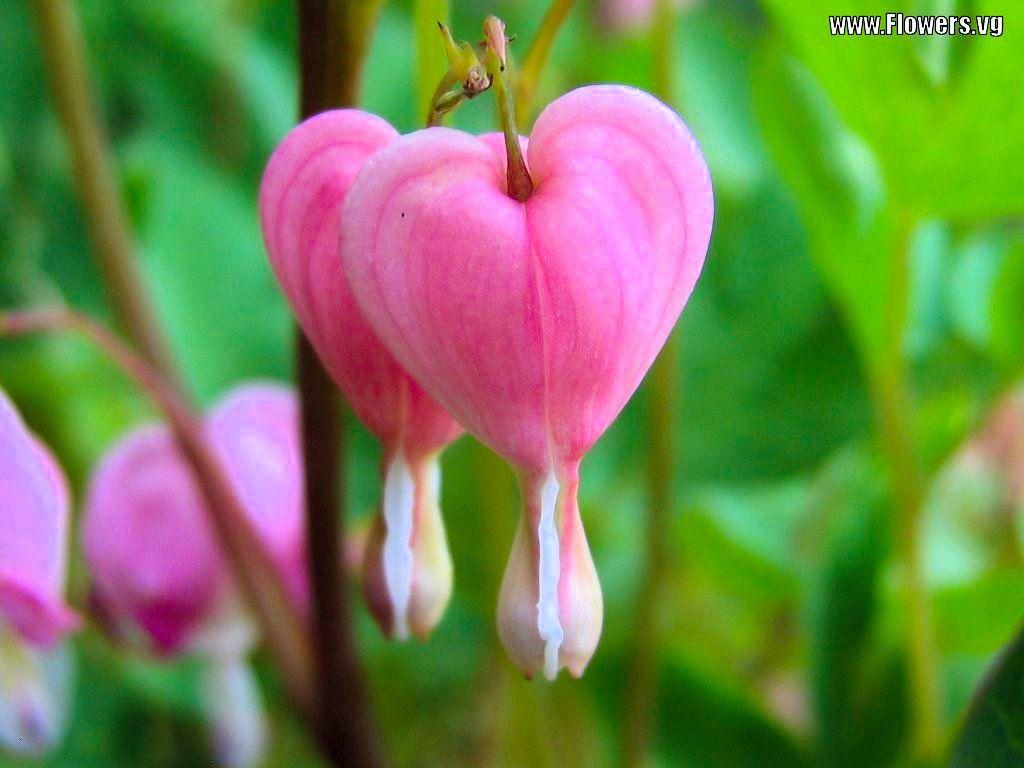 Bleeding Hearts Bleeding Heart Bleeding Heart Flower Flowers