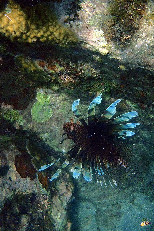 Le poisson Lion est en train d'envahir certains fonds de la mer des #Caraïbes. Carnivore, il fait disparaître d'autres espèces.