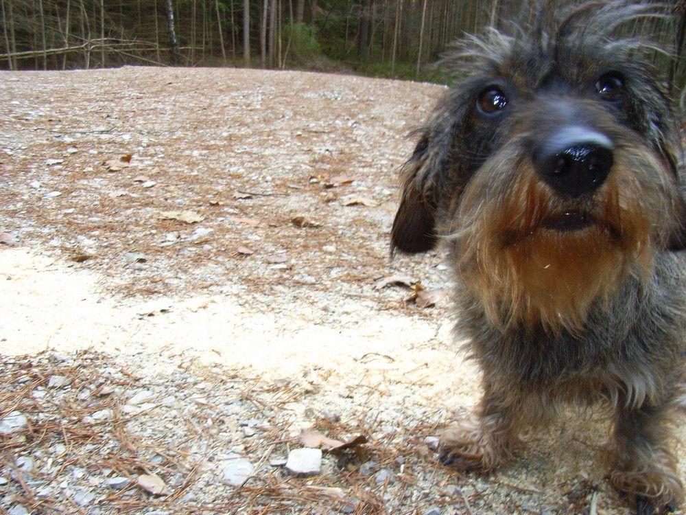 Dachshund Dackel Hunde Rauhaardackel