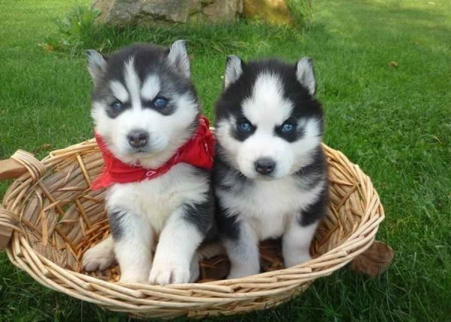 Baby Siberian Husky With Blue Eyes For Sale Siberianhusky Baby