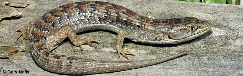 Forest Aka California Alligator Lizard Elgaria Multicarinata