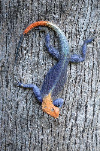 Agama Agama Escher In Real Life Cute Reptiles Lizard Amphibians