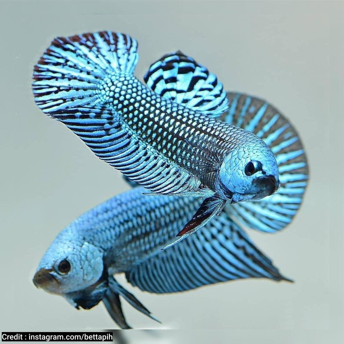 Wallapaper Ikan Cupang Alam Di 2020 Ikan Cupang Ikan Betta