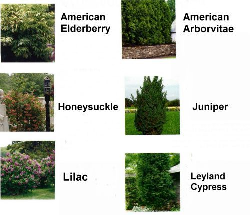 Choosing Bushes Trees Shrubs For Landscaping Shrubs And Bushes