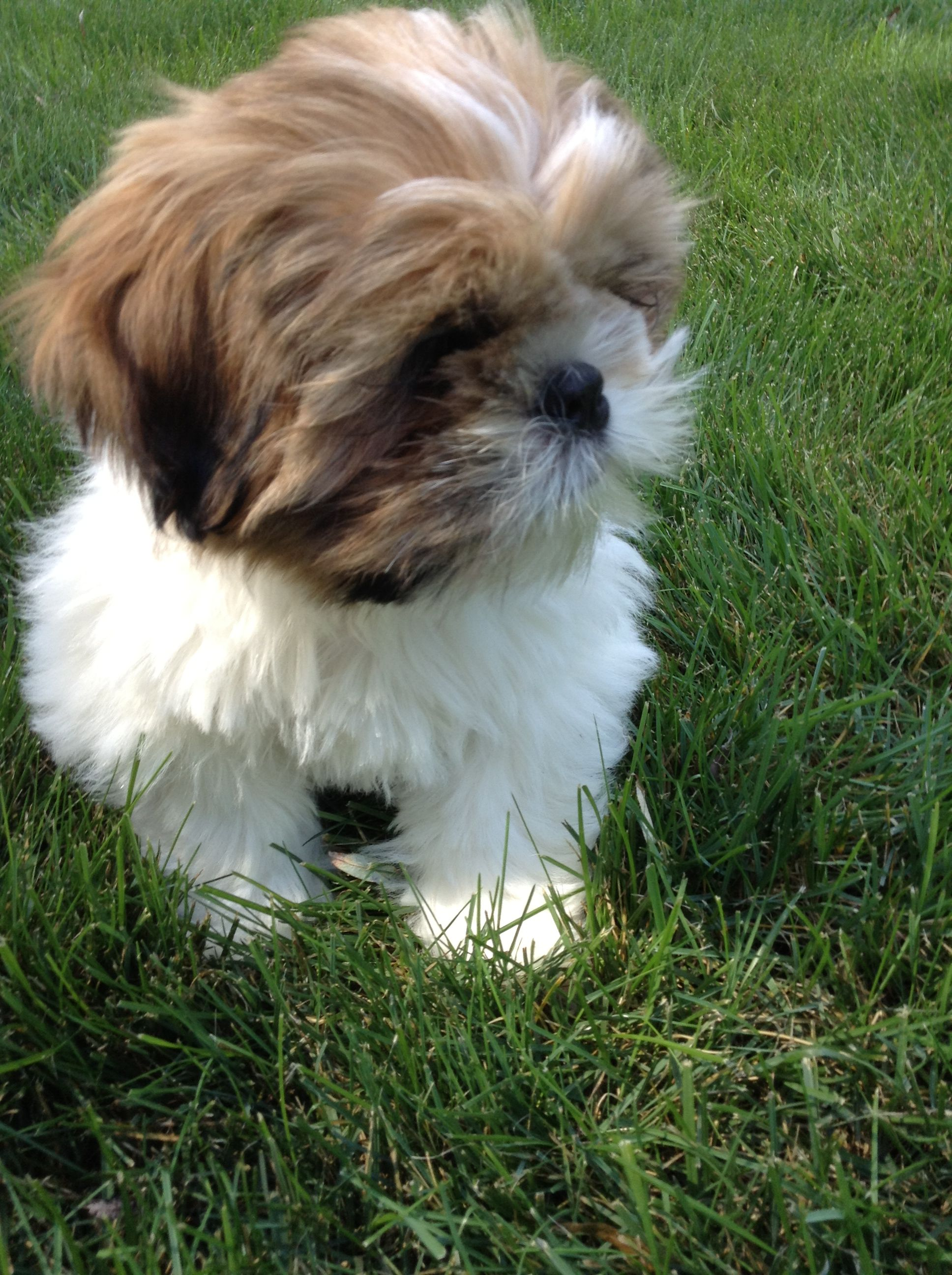 Shih Tzu Puppy This Is Toby Shih Tzu Puppy Shih Tzu Puppies