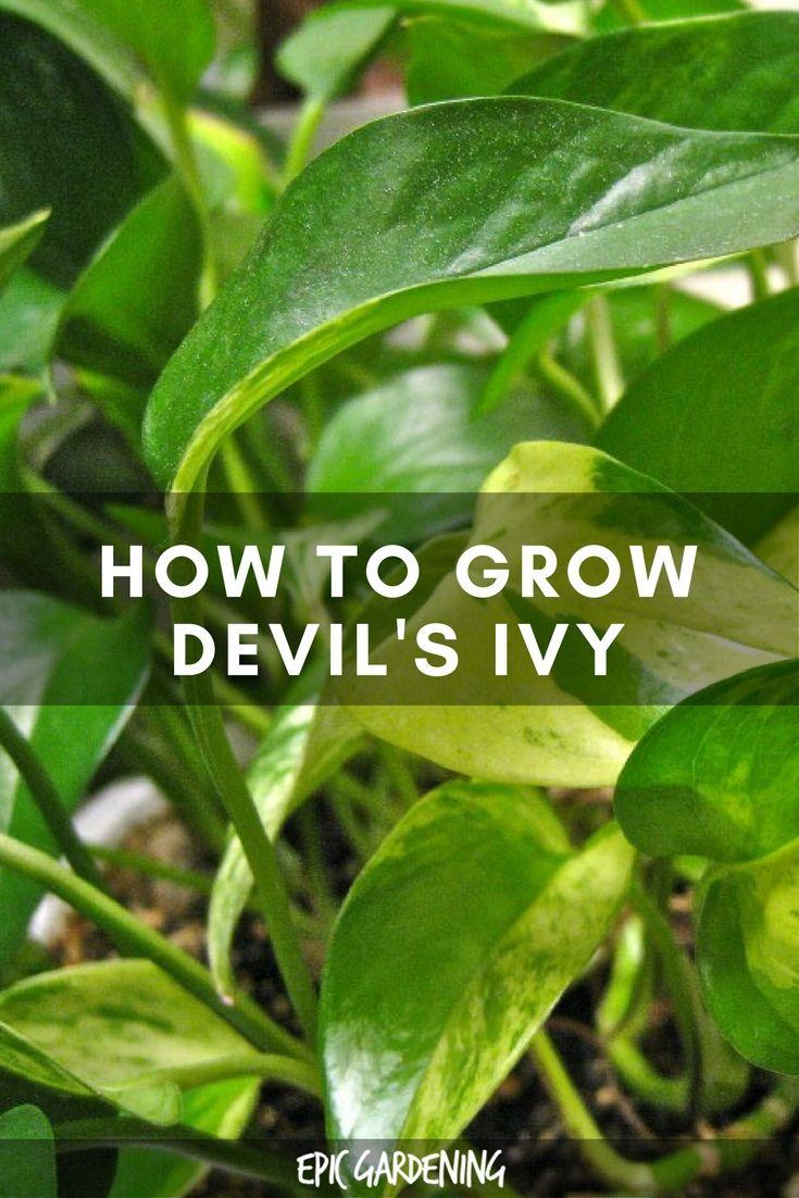 Best Kitchen Gallery: Golden Pothos Care Growing The Devil's Ivy Plant Golden Pothos of Tropical Ivy House Plants on rachelxblog.com