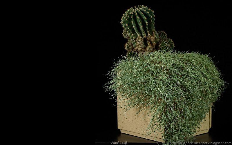 Tapety Na Pulpit 4k Ultra Hd Full Hd I Inne Rozdzielczosci Kompozycja Z Kaktusem Plants