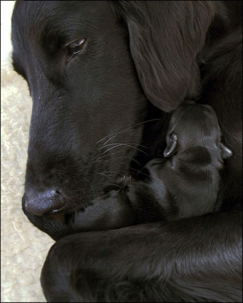 Black Lab Mix And Newborn Pup Cute Baby Animals Dogs And