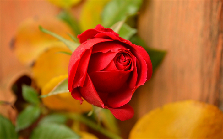 Download Wallpapers Red Rose Rosebud Beautiful Red Flower