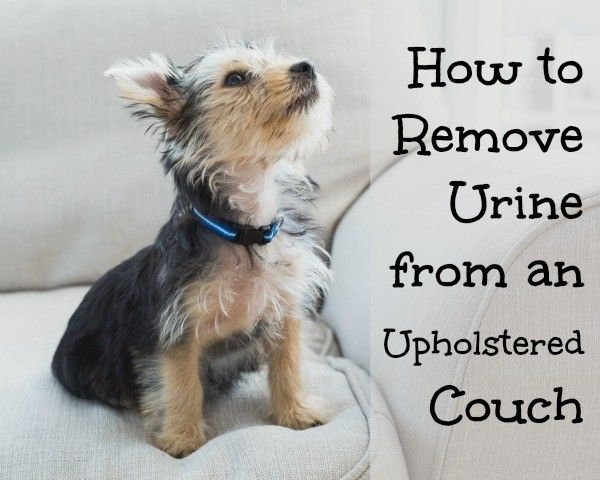 How To Remove Urine From Couch Clean It Furniture