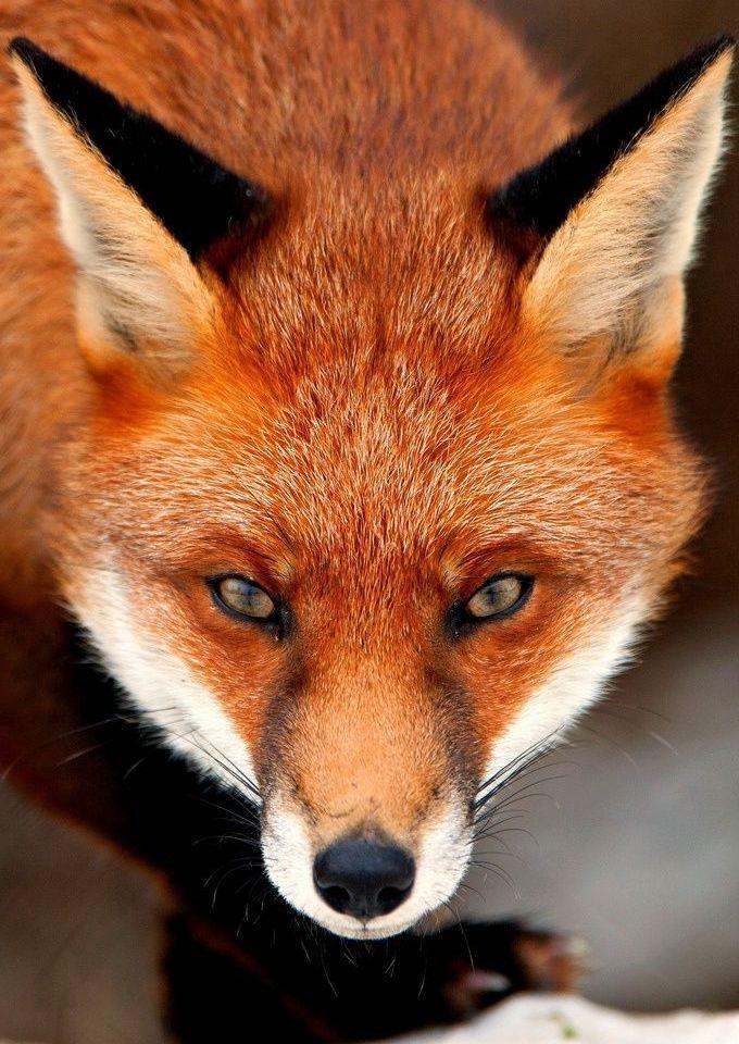 Картинка лиса злая