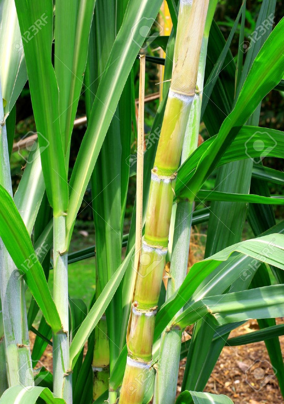 Sugar Plant Images, Stock Pictures, Royalty Free Sugar