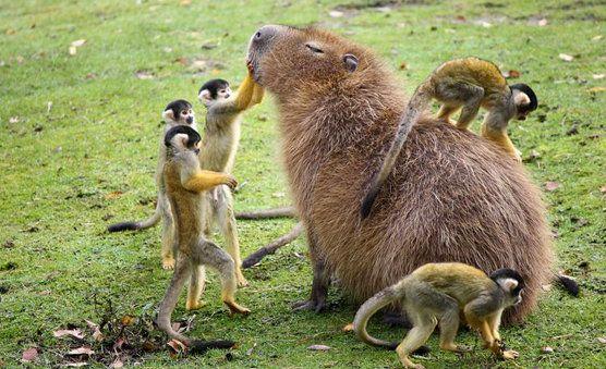Just a capibara and some monkeys | Unusual animals, Capybara, Animals