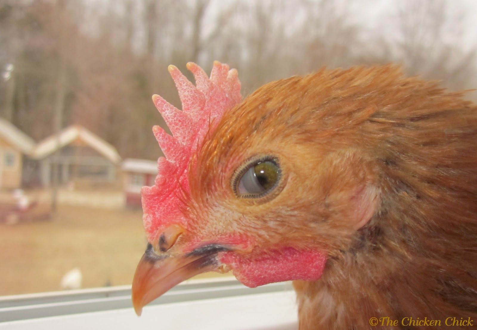 Image result for chicken eyes | Little Red Hen Research | Pinterest ...