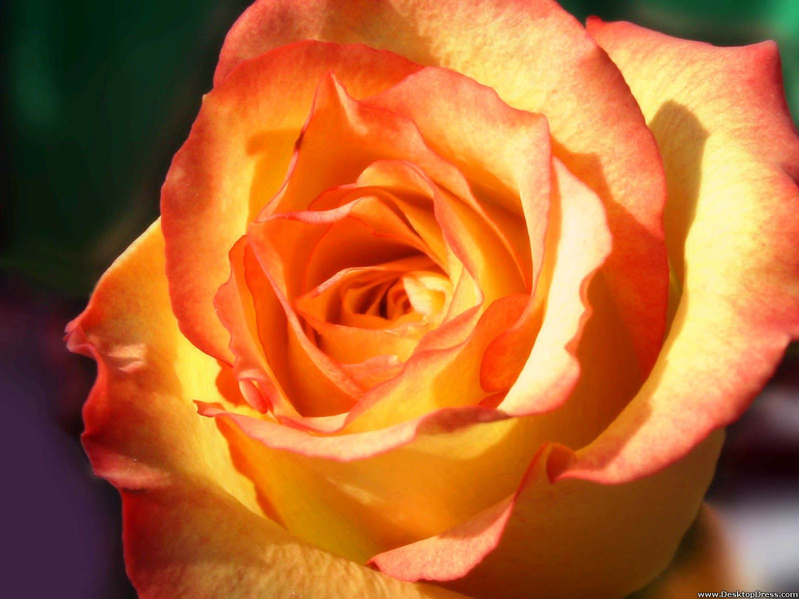 Yellow rose yellow rose meaning yellow roses - What Is The Meaning And History Of Orange Roses