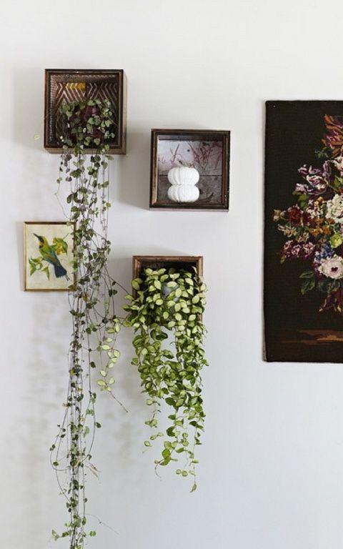 Rosary Vine Houseplants: How To Grow Rosary Vines Indoors