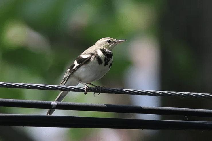 Ciri Khas Burung Kicuit Hutan Dan Perilakunya Di Alam Liar Jalak Burung Hutan