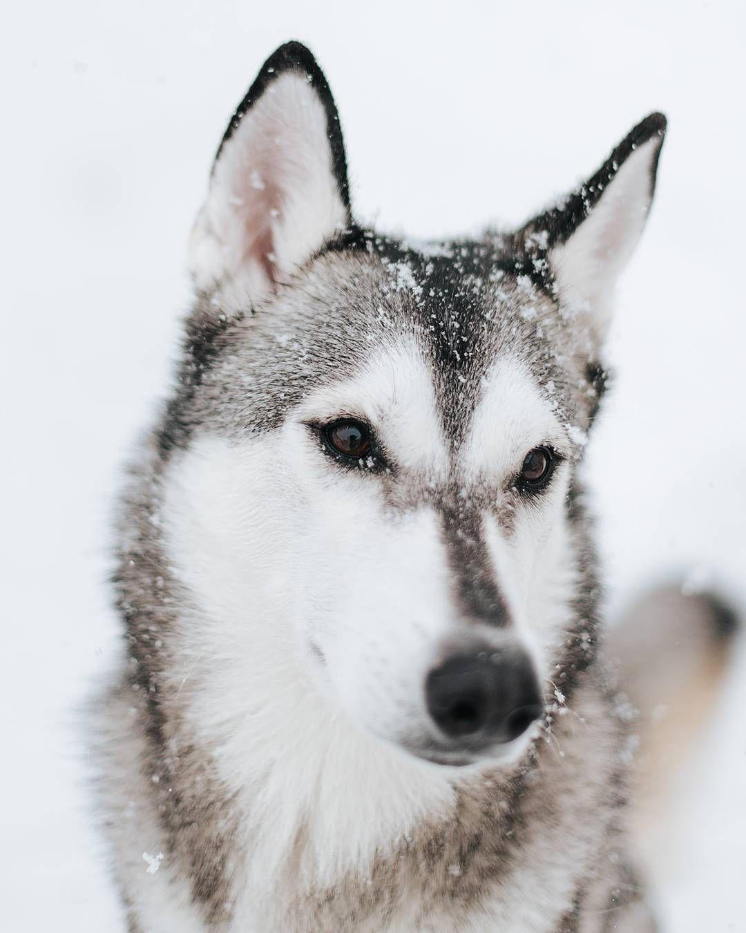 Happy Pup Tamaskan Dogsofinstagram Insta Dogs Instadog