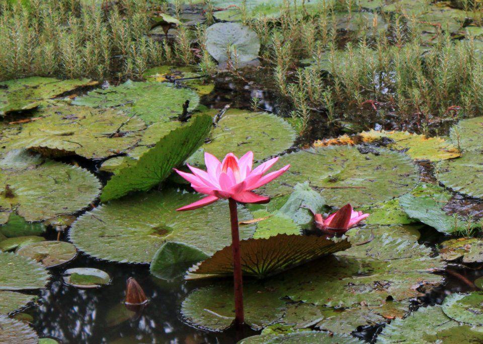 Lotus The national flower of India Amazing india