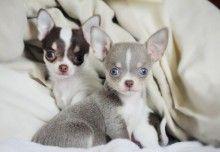 Chihuahua Lifespan Average Life Expectancy Of The Chihuahua