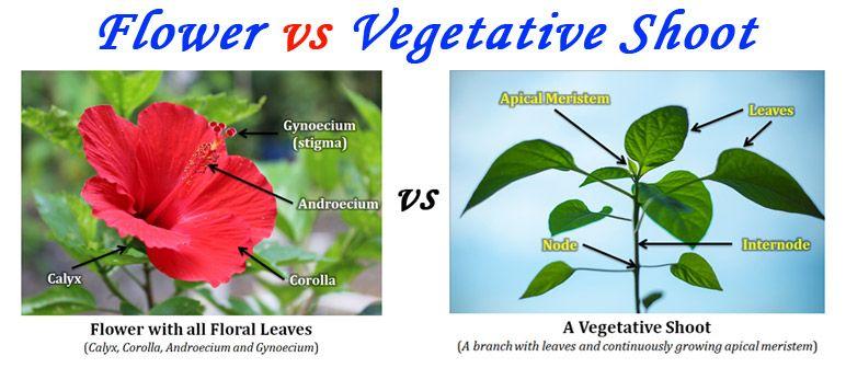 Flower vs Vegetative Shoot | Plant Anatomy | Pinterest | Flower