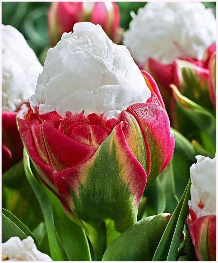ice cream tulip deep pink blooms crowned by a creamy. Black Bedroom Furniture Sets. Home Design Ideas