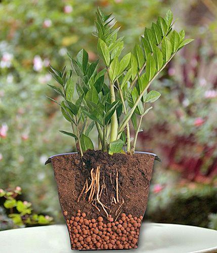 rempotez le zamioculcas dans un terreau l ger et n oubliez pas le drainage au fond du pot www. Black Bedroom Furniture Sets. Home Design Ideas