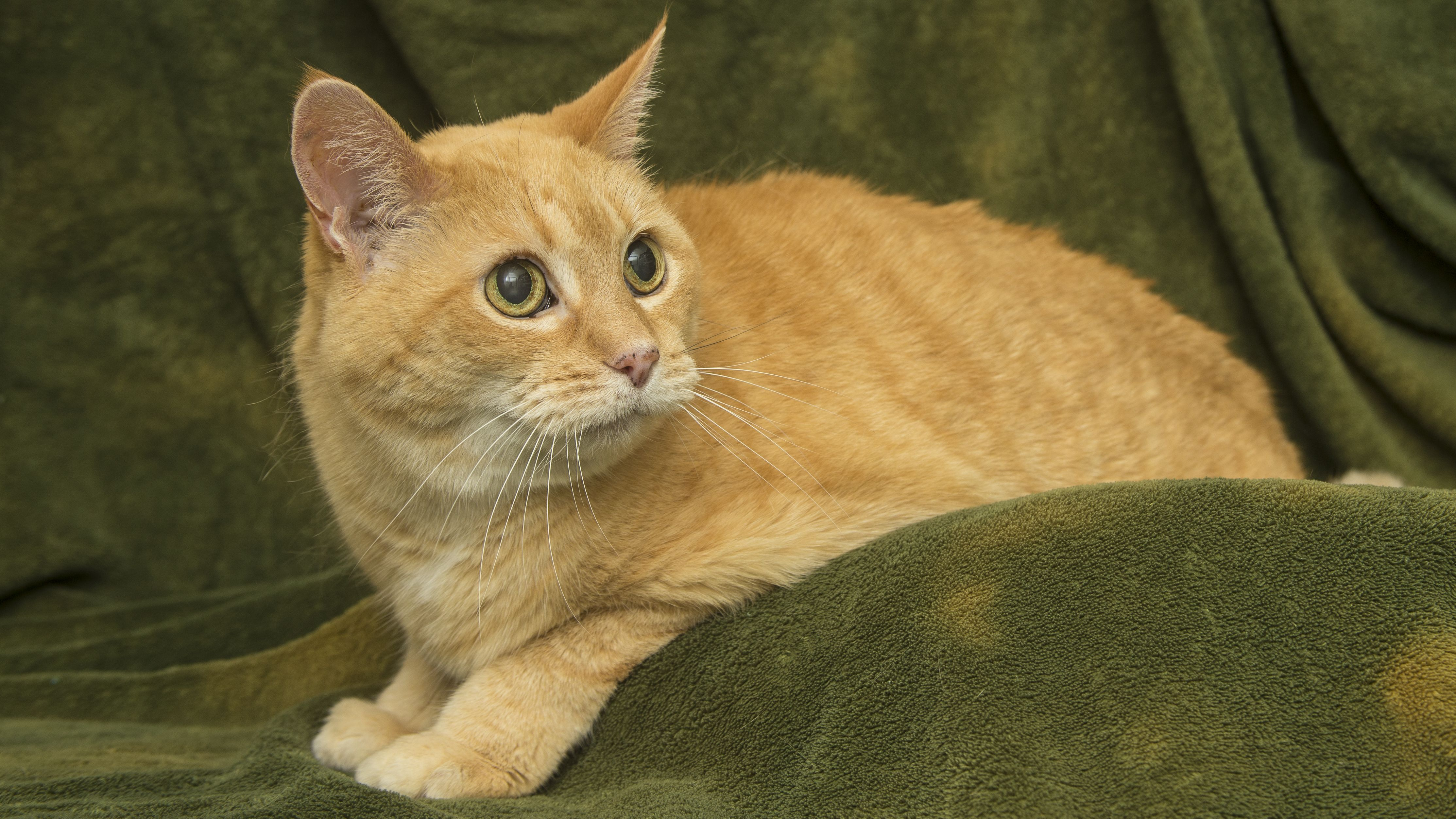 Peaches (With images) Cats, Animals, Hyperthyroidism