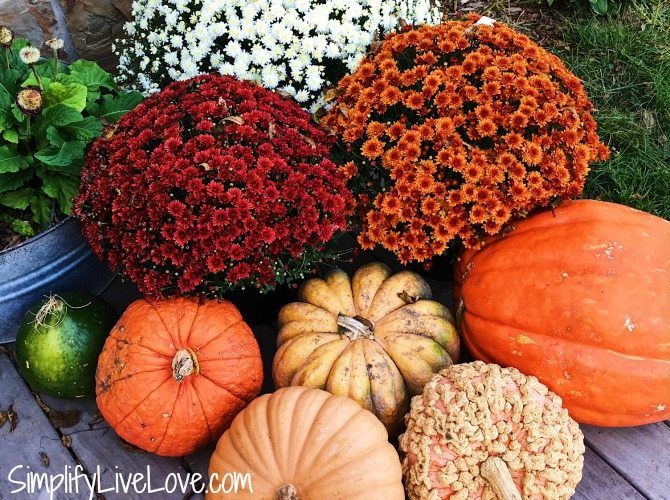 Want To Know How Keep Fall Mums Alive All Season Long These Five Easy