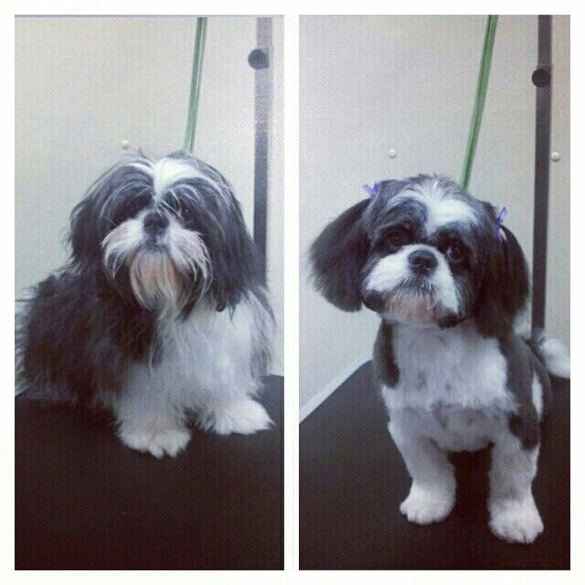 Shih Tzu Puppy Before And After Shih Tzu Dog Shih Tzu Shih