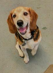 Donald Is An Adoptable Beagle Dog In Kansas City Mo Donald Is A
