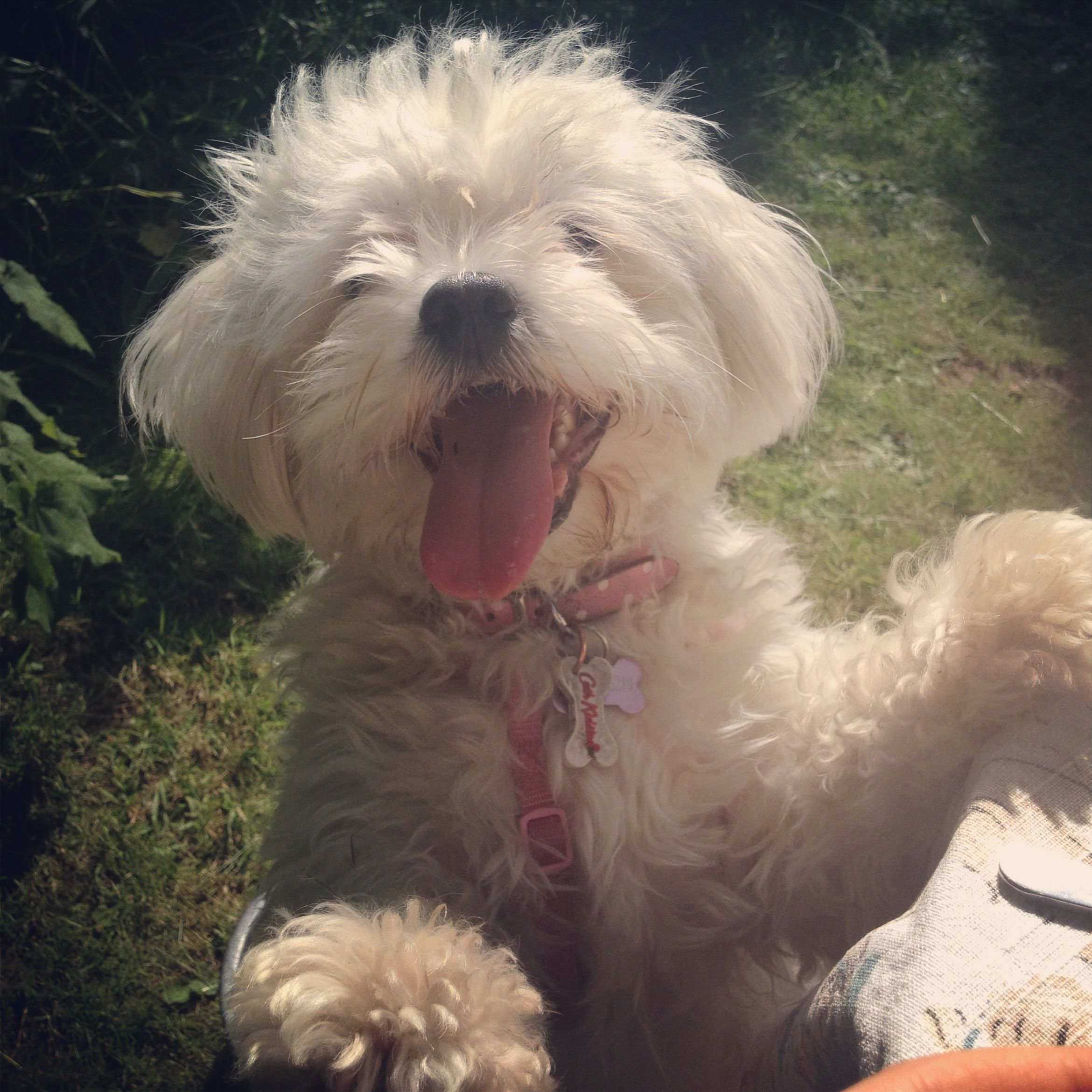 Shichon puppies for sale in kentucky - My Shichon Puppy Lola Bear