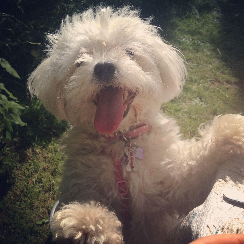 My Shichon Puppy Lola Bear Shichon Puppies Puppies Puppy Love